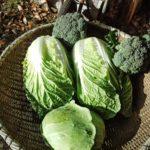 野菜の価格高騰はいつまで?理由や原因とキャベツや白菜・鍋の代用や節約術も