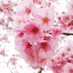 大阪の桜は造幣局の桜の通り抜け!見頃や種類・駐車場や屋台は?ランチ情報も!