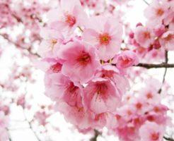 大阪 造幣局 桜 見 ごろ