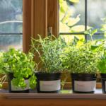 豆苗の栽培は何回まで?冬と夏の育て方のコツやカビや日光・水の量のことも