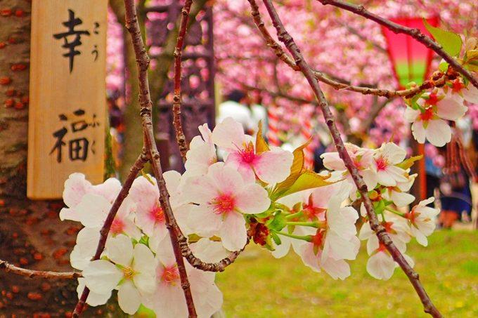 大阪 桜の 通り抜け