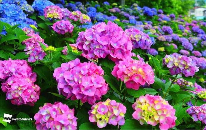 紫陽花 花 言葉 ピンク