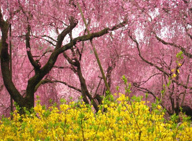 原谷苑 桜 画像