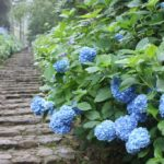 母の日はあじさいがおすすめ!青・白・紫の色別花言葉の良い意味と悪い意味