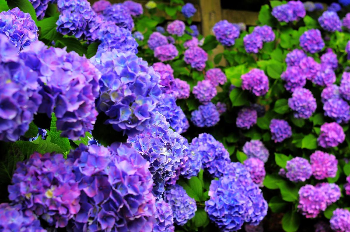 紫陽花 花 言葉 紫