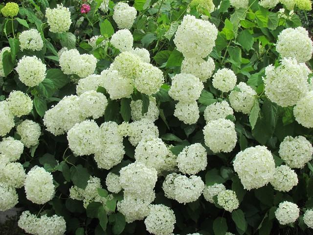 紫陽花 花 言葉 白