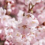 京都桜の穴場は原谷苑!アクセスや駐車場とシャトルバス情報・画像やランチも