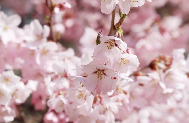 京都 桜 穴場
