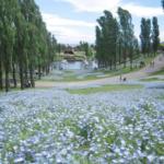 ネモフィラが関西や大阪でみられる名所や花畑は?花言葉や画像も