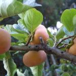 柿の葉茶は血圧を下げる効能効果が!副作用や味カフェインなしで妊婦さんにも!